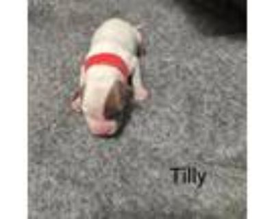 Adopt Tilly Tibby May a Catahoula Leopard Dog