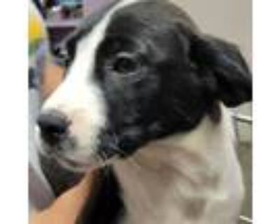 Adopt Chandler a Black Hound (Unknown Type) / Pit Bull Terrier / Mixed dog in