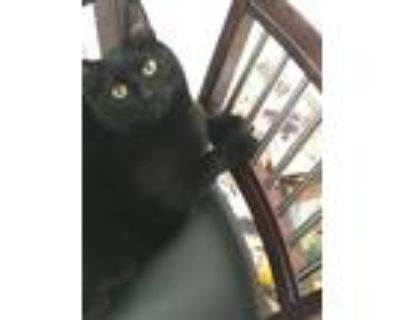 Adopt Rae a Black (Mostly) American Shorthair / Mixed (short coat) cat in