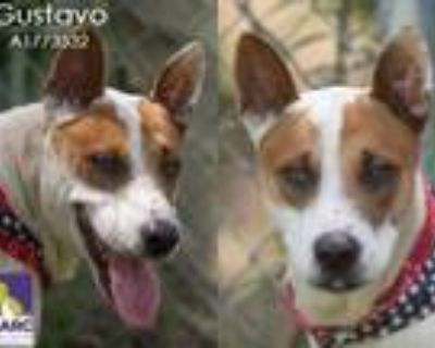 Adopt GUSTAVO a Australian Cattle Dog / Blue Heeler, Mixed Breed