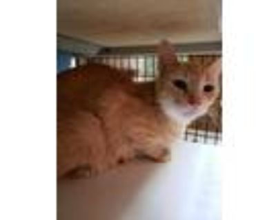 Adopt Momma Jo a Orange or Red Domestic Shorthair / Domestic Shorthair / Mixed