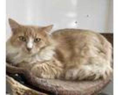 Adopt Rae a Orange or Red Domestic Mediumhair / Domestic Shorthair / Mixed cat
