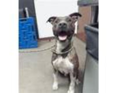 Adopt REX a Pit Bull Terrier, Mixed Breed