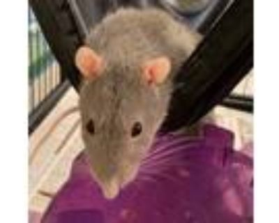 Adopt Remi a Rat small animal in Golden, CO (31927927)