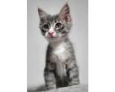 Adopt Ringtail a Domestic Longhair / Mixed (long coat) cat in Little Rock