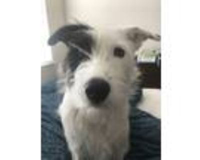Adopt Lola a White - with Black Jack Russell Terrier / Retriever (Unknown Type)