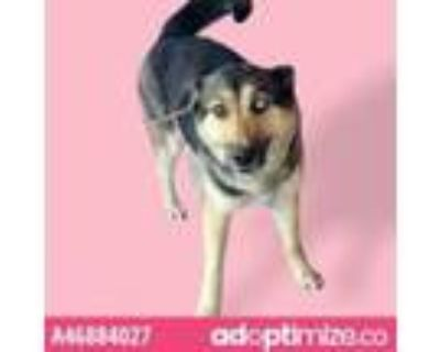Adopt 46884027 a Black German Shepherd Dog / Mixed dog in El Paso, TX (31438167)