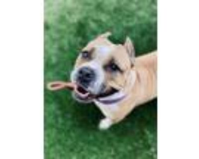 Adopt Kat a Mixed Breed (Medium) / Pit Bull Terrier / Mixed dog in Portsmouth