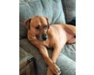 Adopt Boomer a Tan/Yellow/Fawn - with White Hound (Unknown Type) / Mixed dog in
