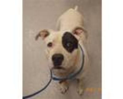 Adopt MOMMIE a White - with Black American Pit Bull Terrier / Mixed dog in
