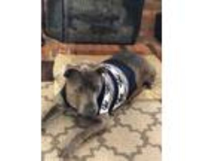 Adopt Gus Gus a Labrador Retriever, Pit Bull Terrier