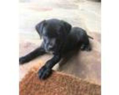 Adopt Ace a Black Labrador Retriever / Mixed dog in Cumming, GA (31618180)