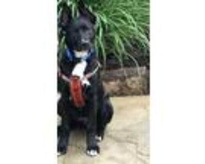 Adopt Bowser a Black - with White Spitz (Unknown Type, Large) / Mixed dog in