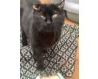 Adopt Ripley a All Black Domestic Shorthair / Domestic Shorthair / Mixed cat in