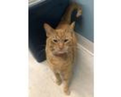 Adopt Ellie May a Orange or Red Tabby Domestic Shorthair / Mixed cat in
