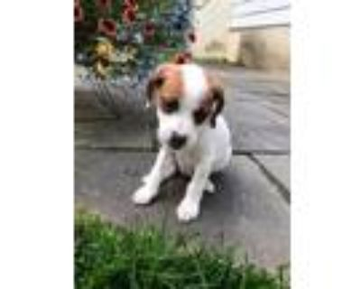 Adopt Deedee a Tricolor (Tan/Brown & Black & White) Beagle / Mixed dog in Lima