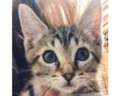 Adopt Rum Tum Tugger a Brown or Chocolate Domestic Shorthair / Mixed cat in