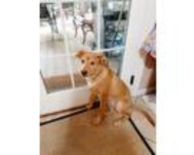 Adopt Mellie a Tan/Yellow/Fawn Golden Retriever / German Shepherd Dog / Mixed