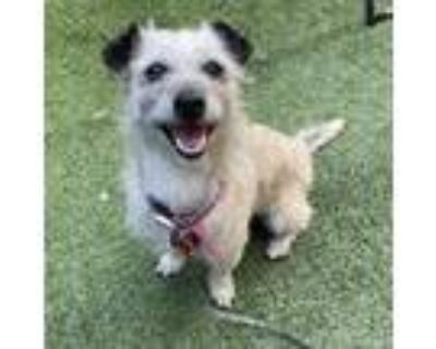 Adopt Peach a Tricolor (Tan/Brown & Black & White) Cairn Terrier / Terrier