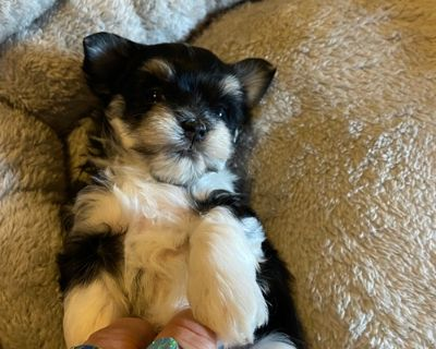Mal Shi Puppy for Sale - Saydi
