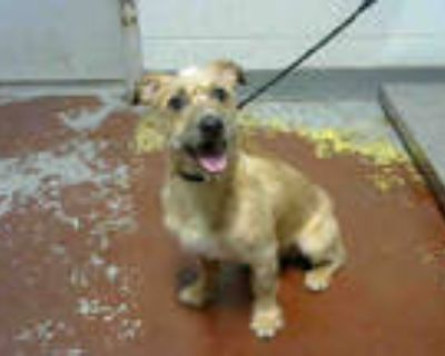 Adopt SANDY a Tan/Yellow/Fawn - with White Fox Terrier (Toy) / Mixed dog in