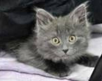 Adopt Flit a Gray or Blue Domestic Longhair / Domestic Shorthair / Mixed cat in