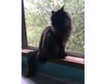 Adopt Link a Black (Mostly) Maine Coon / Mixed (long coat) cat in Colorado