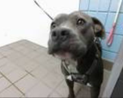 Adopt ROCCO a Gray/Silver/Salt & Pepper - with White American Pit Bull Terrier /