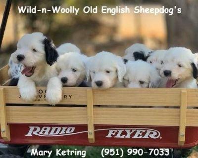 Wild-n-Woolly Old English Sheepdog Puppies