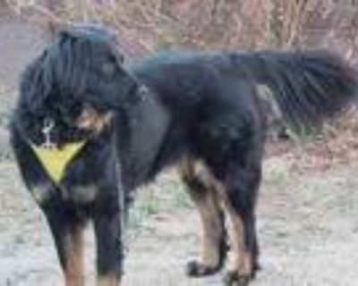 Adopt KENAI* a Black - with Tan, Yellow or Fawn Border Collie / Mixed dog in