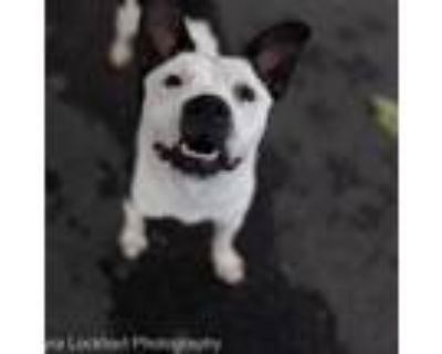 Adopt Daisy a White - with Tan, Yellow or Fawn Pit Bull Terrier / Mixed Breed