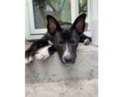 Adopt `Dog a Black - with White Hound (Unknown Type) / Mixed dog in