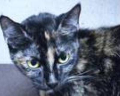 Adopt SUGAR a Tortoiseshell Domestic Mediumhair / Mixed (medium coat) cat in