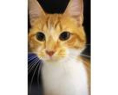 Adopt Evan a Orange or Red Domestic Shorthair / Domestic Shorthair / Mixed cat