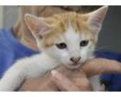 Adopt DIZZY * a Orange or Red Tabby Domestic Shorthair / Mixed (short coat) cat