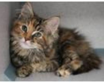 Adopt Cheyenne and Clyde! BONDED BEAUTIES a Maine Coon, Torbie