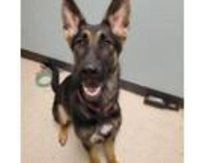 Adopt Zoey a Shepherd, Mixed Breed