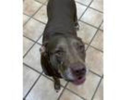 Adopt HERSHY a Labrador Retriever