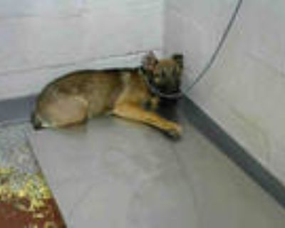 Adopt PENNY BROWN a Brown/Chocolate - with Black German Shepherd Dog / Mixed dog