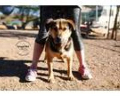 Adopt Dutsch a German Shepherd Dog, Basset Hound