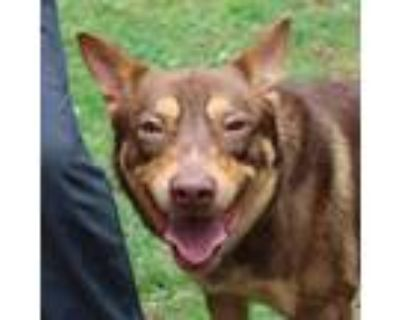Adopt Jennings a Brown/Chocolate Shepherd (Unknown Type) / Mixed Breed (Large) /