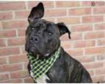 Adopt BOULDER a Pit Bull Terrier, Mixed Breed