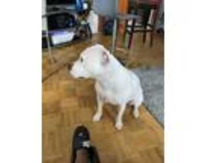 Adopt Icee a White American Pit Bull Terrier / Mixed dog in Newport News