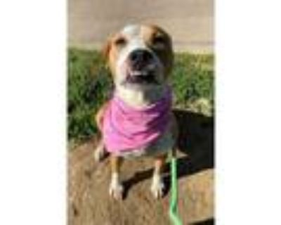 Adopt ALICE a Brown/Chocolate - with White American Pit Bull Terrier / Mixed dog