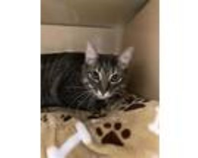 Adopt MOOKI a Gray or Blue (Mostly) Domestic Shorthair / Mixed (short coat) cat
