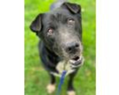 Adopt Bently a Black - with Gray or Silver Shar Pei / Shepherd (Unknown Type) /