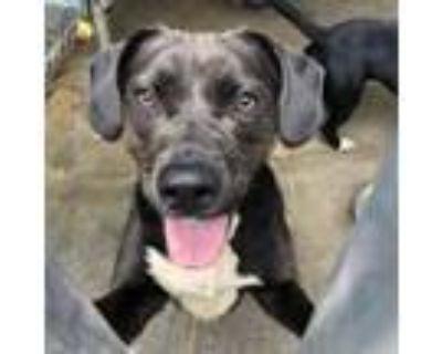 Adopt Donut a Pit Bull Terrier, Labrador Retriever