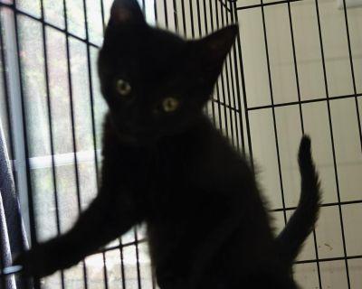 Drew - Domestic Shorthair - Kitten Female