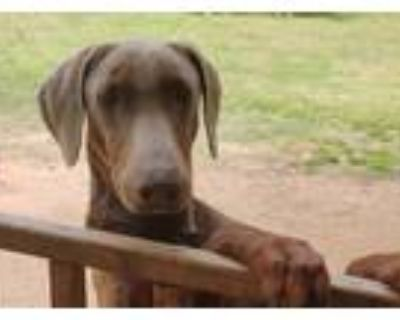 Adopt Thor a Tan/Yellow/Fawn Doberman Pinscher / Mixed dog in Fort Worth