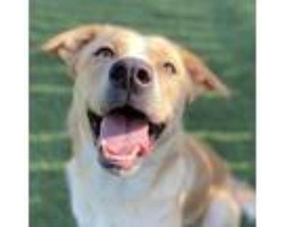 Adopt D-170 a Tan/Yellow/Fawn Great Pyrenees / Labrador Retriever / Mixed dog in